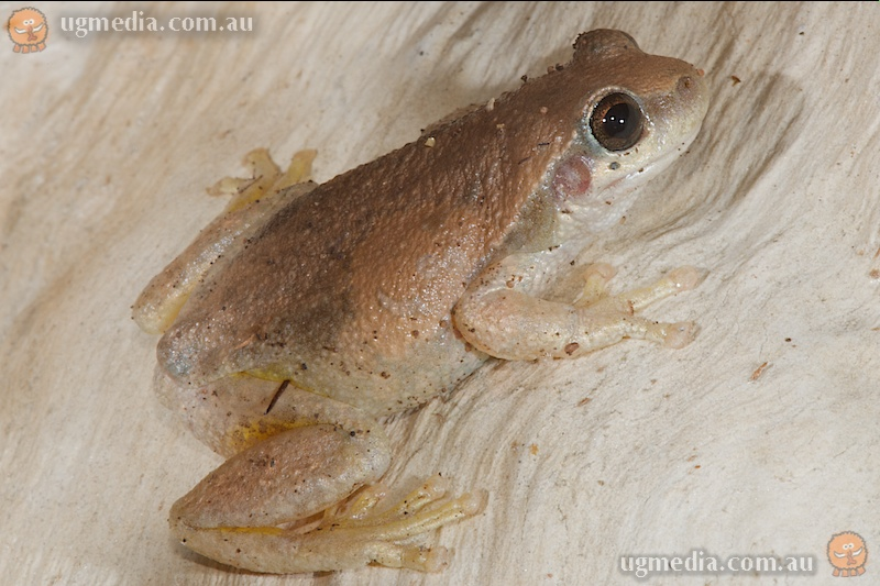 Desert tree frog (Litoria rubella)