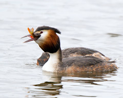 Down the hatch (Andrew Haynes Wildlife Images) Tags: bird nature wildlife coventry warwickshire greatcrestedgrebe brandonmarsh canon7d ajh2008