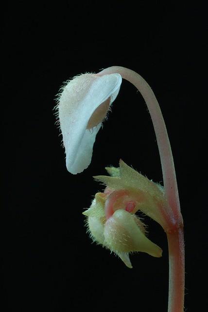 Begonia limprichtii Flower 1