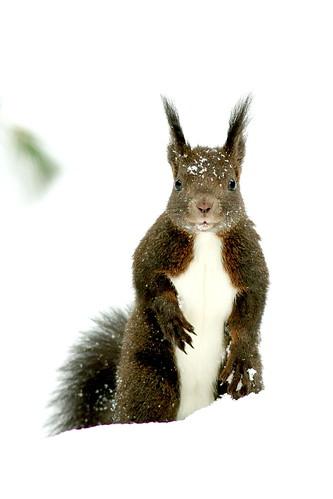 [フリー画像] 動物, 哺乳類, リス科, リス, 201103151100