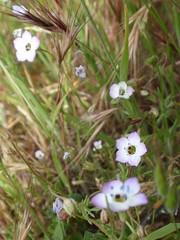 Birdseye Gilia 05 (Tom Hilton) Tags: color wildflowers gilia polemoniaceae giliatricolor windwolvespreserve