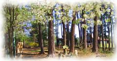 Pines and blossoms Explore #458 (gailpiland) Tags: barn digital photo farm blossoms pines 1001nights hypothetical tractorseat simplybeautiful flickraward myglance gailpiland