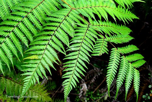 Silver Fern Leaf, New Zealand