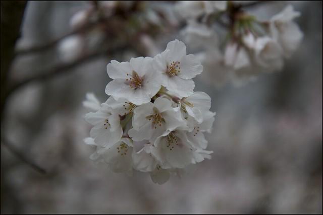 2138 (cherry)©2011 RosebudPenfold
