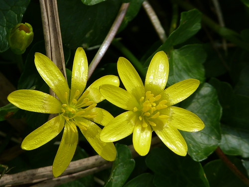 Lesser Celandine (Ranunculus ficaria) by Peter Orchard