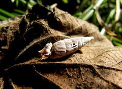 Symbolisch ... fr ein entspanntes Wochenende. (happycat) Tags: animal germany thringen leaf laub snail foliage blatt schnecke tier naturschutzgebiet hain nsg weimarerland grosschwabhausen grossschwabhausen haingrosschwabhausen schliesmundschnecke