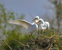 Great Egrets, nest building (bunnyfrogs) Tags: wild building bird animal island sticks high texas nest tx wildlife branches great smith oaks twigs egrets