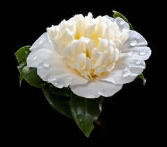 Spring Clean (There and back again) Tags: white flower macro cream camellia onblack mygearandme