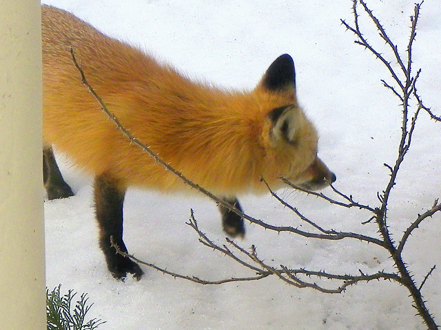 Close-Up Of The Fox In The Garden