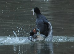 Grebe attacking a coot (Nabok) Tags: coot grebe fulicaatra naturesfinest podicepscristatus 80400vr foulquemacroule