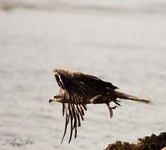 Black Kite(Milvus migrans) (ALi AL-Qudsi) Tags: kite black canon ali l 28 abha 70200  milvus migrans asir d40 40d     alqudsi