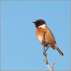 Mr Stonechat (Izzy Standbridge) Tags: bird ynyslas stonechat wildbird carlsbirdclub