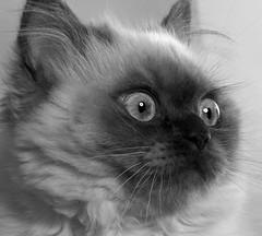 IMG_2421 (Sean Rumsey) Tags: new portrait bw canada nature monochrome beauty cat photoshop canon newfoundland studio eos blackwhite kitten alien 100mm 5d alienbee ef strobe markii himilayan lseries ef100mm beautydish ab800 5dmkii 5dmk2 5dmark2