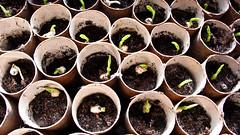 Garden preparation (Elise Swart) Tags: garden nederland thenetherlands jardin tuin pea preparation pois prepare vensterbank bloempot greenpeas voorbereiding petitspois voorbereiden erwt erwten doperwt doperwten