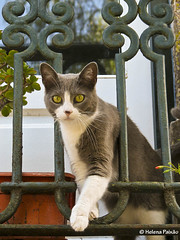 Gato mirone (Observer cat) (Helena Paixao) Tags: portugal cat chat balcony sintra gato varanda mygearandme mygearandmepremium mygearandmebronze