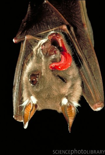 Pet Scoop: Male Bats Use Sex Calls to Court Females, New Dwarf ...