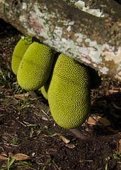 Jack fruit (Saboor Haider) Tags: fruit jackfruit greenfruit
