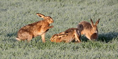 Curse of the Were-Hare (trickydicky1964) Tags: wild brown nature field barley countryside spring hare wildlife north norfolk dew british boxing mammals hares 2011 brownhare europaeus lepus canon450d sigma150500mmf563dgoshsm glavenvalley