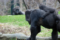 Mother and Baby Gorilla, Lincoln Park Zoo, April 21, 2014 102-1 full bpx (Explored April 24, 2014) (stew says  ) Tags: lincolnparkzoo motherandbabygorilla april212014