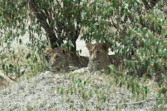 Mama, let me go out and play (jhderojas) Tags: lions masai mara lion breeding kenia