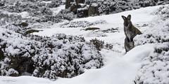 ~ Snow Bunny ~ (Aaron Bishop Photography) Tags: wallaby snow nationalpark ben lomond tasmania snowbunny kangaroo