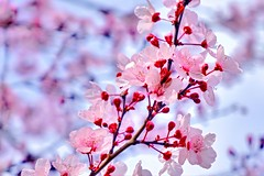 San Jose Plum Blossoms - 2016 (Sweezey Pictures) Tags: sanjose plumblossoms
