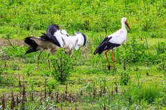 Cigogne blanche (Ciconia ciconia) (yann.dimauro) Tags: fr france animaux baie baiedesomme extrieur faune grandlavier lavier lecrotoy oiseau ornithologie picardie somme yanndimauro
