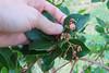 IMG_7033-1 (solariahues) Tags: strawberrytree flowers
