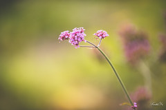 Verbena  (T.ye) Tags: purple dof flower flowers bokeh plant closeup outside outdoor todd ye verbena  blossom