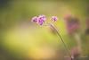 Verbena 馬鞭草 (T.ye) Tags: purple dof flower flowers bokeh plant closeup outside outdoor todd ye verbena 馬鞭草 blossom