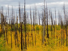 Young Aspen Trees (kforward) Tags: grandcanyonnationalpark northrim