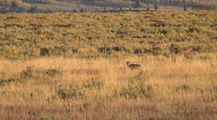 500_1504 (DianeBerky19) Tags: nikond500 coyote summitnatureworkshop 2016 jacksonholewyoming wy