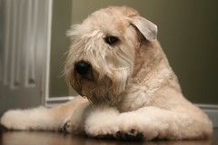 Haircut... 4/52 (milikin) Tags: dog pet canine terrier grooming wheaten scwt 52weeksfordogs