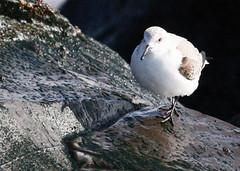 Sanderling on the jetty (Tombo Pixels) Tags: 7presidents0917 sanderling long branch nj bird sevenpresidentspark seven presidents park longbranch canon newjersey twb1
