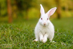 Meet Mr.BenTen ;) (AnNamir c[_]) Tags: cute rabbit bunny green animal canon kitten kittens malaysia 7d f18 arnab pipah wow1 wow2 wow3 wow4 benten 50mmlens wow6 peah wow5 jan21 daysixteen huluselangor platinumheartaward annamir tasikhuffaz mothernaturesgreenearth mygearandme mygearandmepremium mygearandmebronze mygearandmesilver mygearandmegold mygearandmeplatinum mygearandmediamond phoeniximmortal ds436 ds432 ds437 artistoftheyearlevel4 aboveandbeyondlevel4 aboveandbeyondlevel1 flickrstruereflection1 flickrstruereflection2 flickrstruereflection3 flickrstruereflection4 artistoftheyearlevel5 aboveandbeyondlevel2 aboveandbeyondlevel3