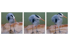 Heron x 3 (lakesly) Tags: dublin heron birds zoo triptych outdoor imagespace:hasdirection=false