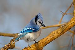 Blue Jay (Brian E Kushner) Tags: blue bird birds animals newjersey backyard nikon jay wildlife brian nj bluejay f4 audubon cyanocittacristata birdwatcher kushner backyardbirds 600mm nikor afsnikkor600mmf4gedvr d7000 audubonnj bkushner ©brianekushner nikond7000 nikon600mmf4afsvr
