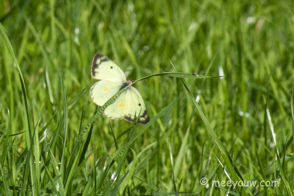 Pink-edged Sulphur    02.jpg