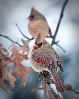 Northern Cardinal  ... Cardinalis cardinalis