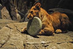 MGM Lion (trunks_pj) Tags: nikon feline lasvegas nevada lion casino bigcat lions 1855mm dslr mgm mgmgrand cattoy mgmlion lionhabitat lionplaying lionincaptivity lionchewing