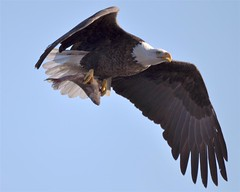 Fish On! (mjb8216) Tags: nikon eagle bald iowa mississippiriver d90 leclaire sigma150500mm slbcarryingfood lockdam14