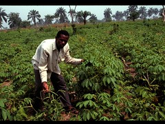 Researcher evaluating cowpea intercropped with cassava (IITA Image Library) Tags: evaluation cassava intercropping vignaunguiculata cowpeas manihotesculenta