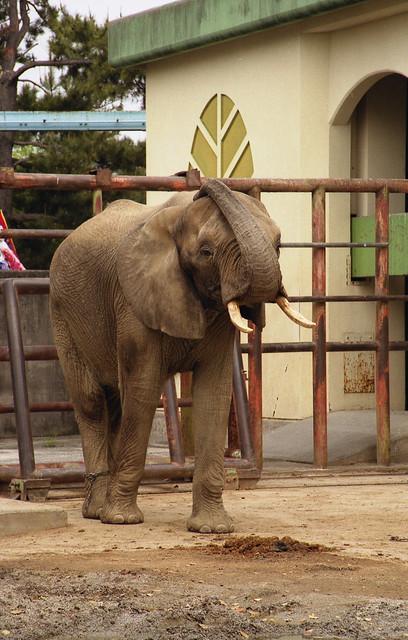 ゾウのフリー写真素材