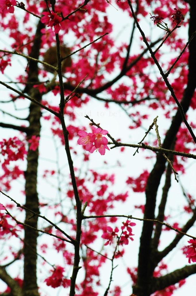 我家後山的櫻花開了