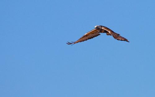 Rough-legged hawk-2.jpg