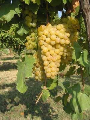 Grappolo di uva Rambèla