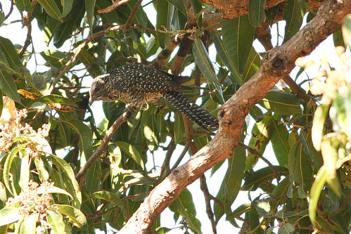 Asian Koel Female