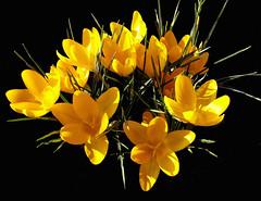 crochi (Melisenda2010) Tags: flowers flora fiori artisticflowers silveramazingdetail