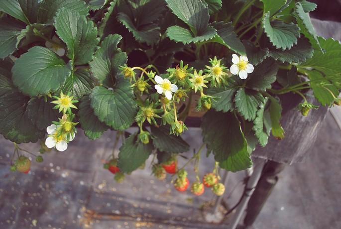 strawberryhunting
