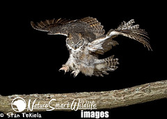 Great Horned Owl (Bubo virginianus) (Stan Tekiela's Nature Smart Wildlife Images) Tags: night flying landing raptor birdofprey stockimages greathornedowlbubovirginianus stantekiela naturesmartwildlifewordsandimages
